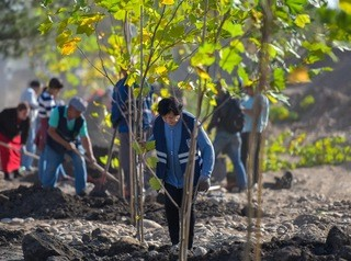 На смену 238 старым деревьям в Барнауле посадят вдвое больше новых саженцев