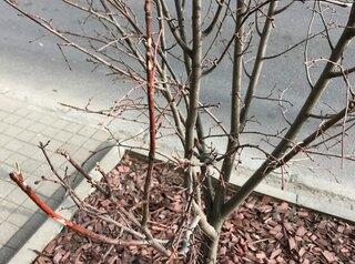 72% новых деревьев на проспекте Мира погибли, остальные еле живы