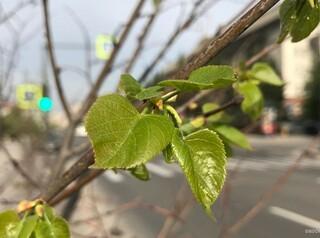 Для озеленения Красноярска выберут деревья, способные жить при плохой экологии